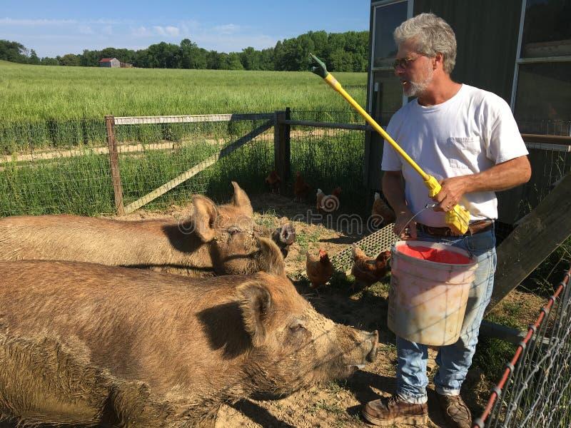 Landbouwer Feeding Pigs royalty-vrije stock foto