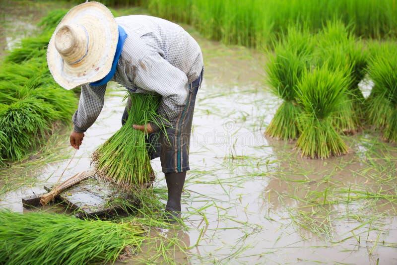 Landbouwer gebonden padiezaailingen. stock afbeeldingen