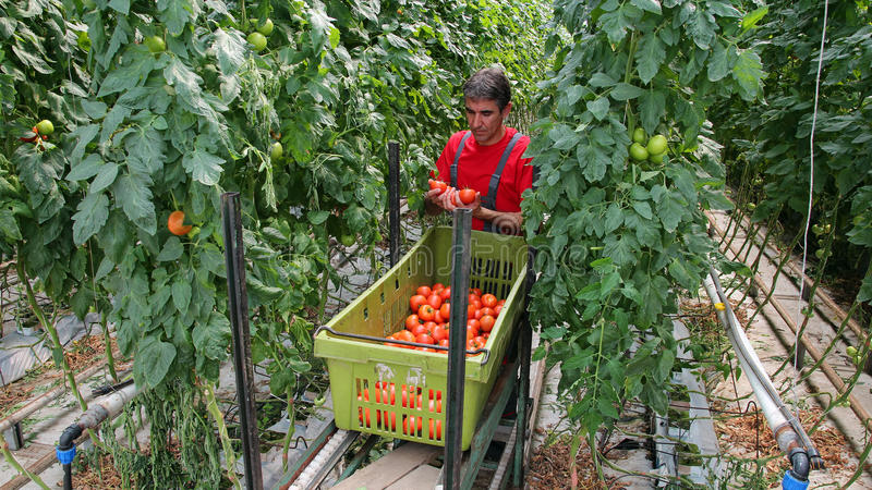 Landbouwer Harvesting Tomatoes royalty-vrije stock fotografie
