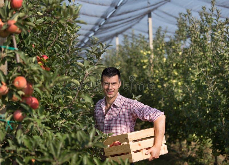 Landbouwer het oogsten appelen in boomgaard stock afbeeldingen