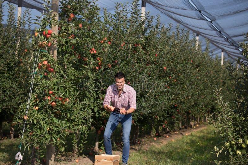 Landbouwer het oogsten appelen in boomgaard royalty-vrije stock afbeelding