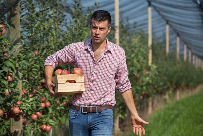 Landbouwer het oogsten appelen in boomgaard royalty-vrije stock foto