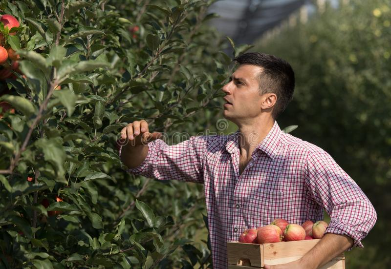 Landbouwer het oogsten appelen in boomgaard stock foto's