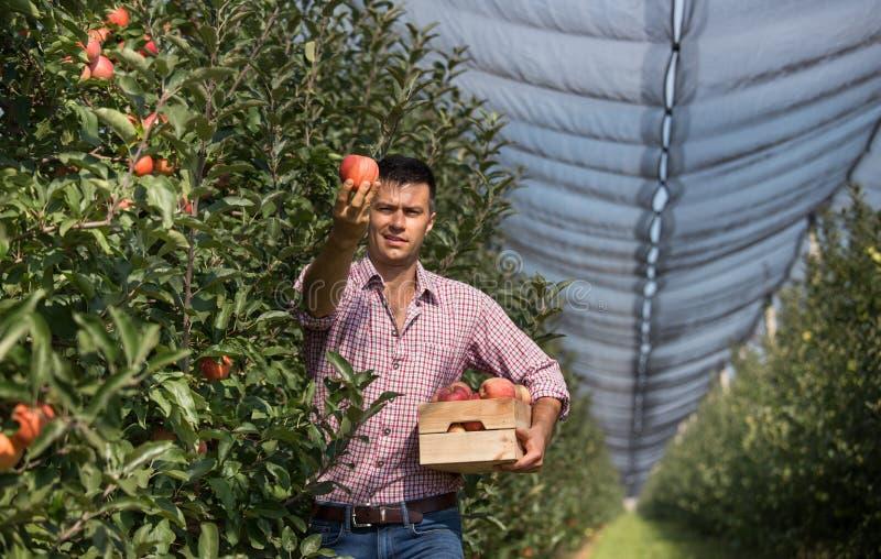 Landbouwer het oogsten appelen in boomgaard royalty-vrije stock foto's
