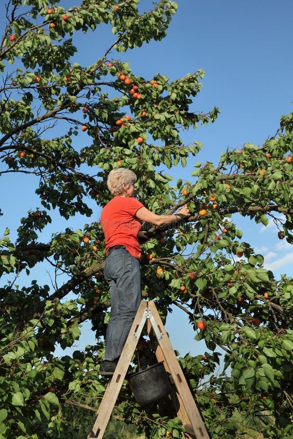 Landbouwer het plukken abrikozenfruit in boomgaard royalty-vrije stock fotografie
