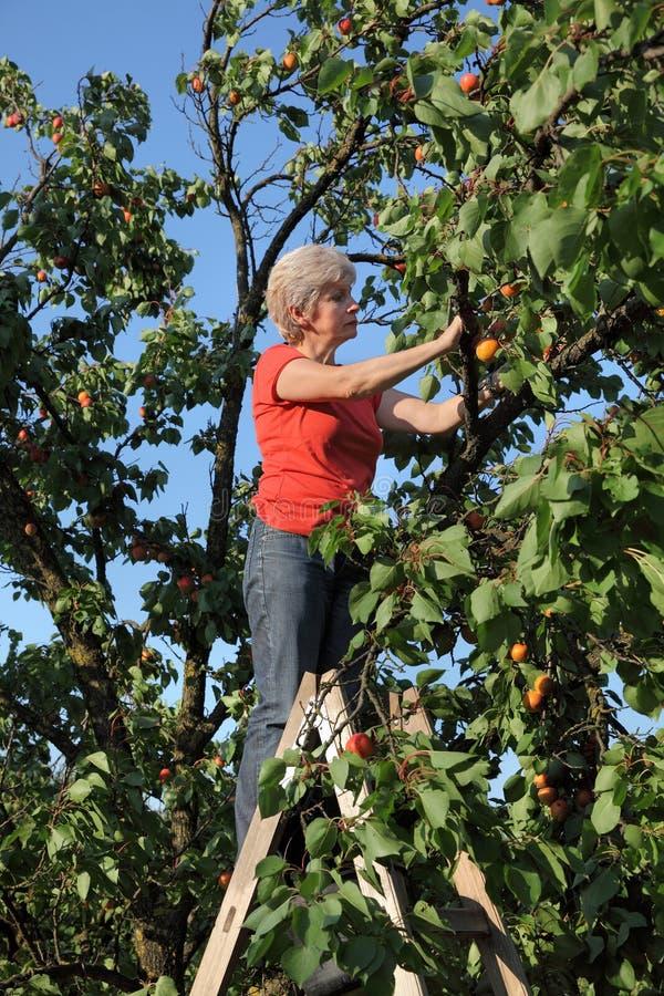 Landbouwer het plukken abrikozenfruit in boomgaard stock afbeelding