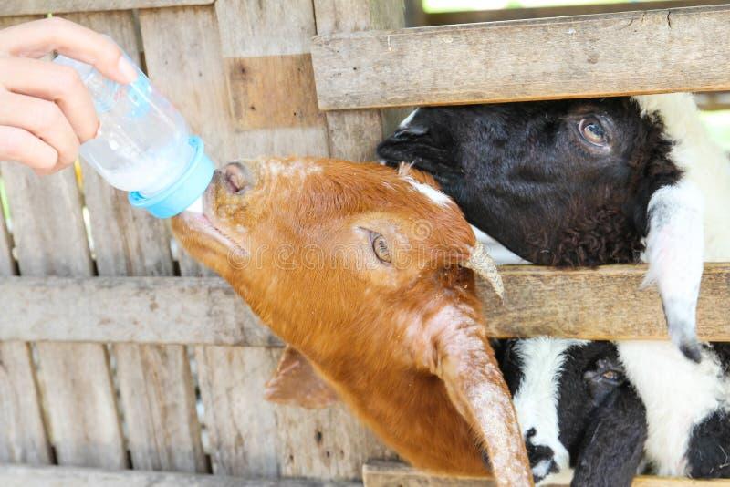 Landbouwer het voeden melk aan landbouwbedrijfgeit stock afbeelding