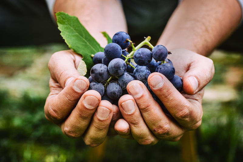 Landbouwer met druiven royalty-vrije stock afbeeldingen