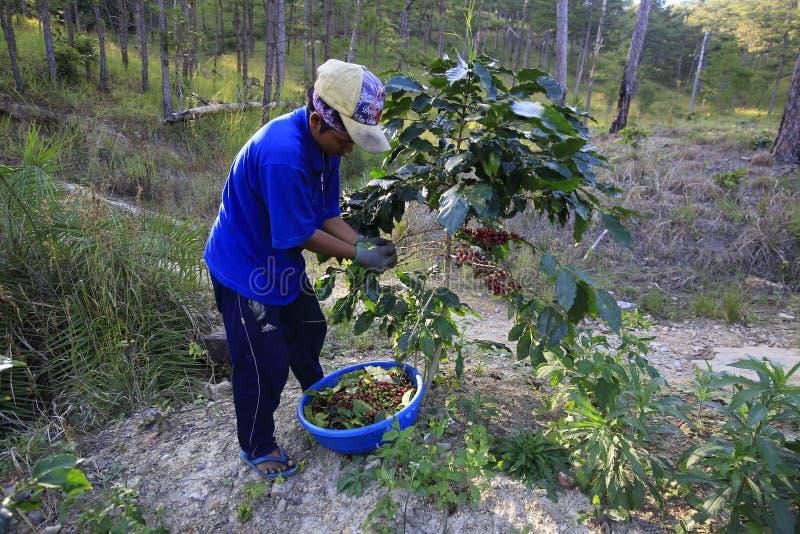 Landbouwer met een mand die rode koffie oogsten bij koffieaanplanting stock foto's