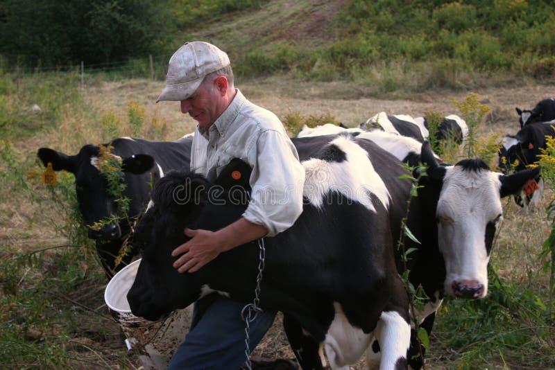Landbouwer met Koeien stock afbeeldingen