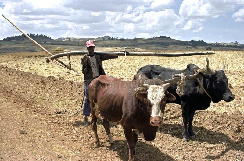 Landbouwer met ossen en ploeg op de weg aan cropland stock foto
