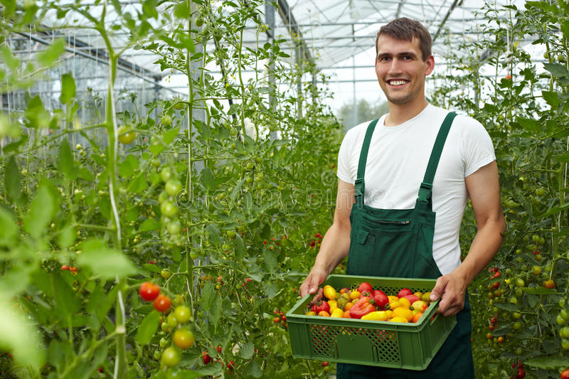 Landbouwer met tomaten royalty-vrije stock afbeeldingen