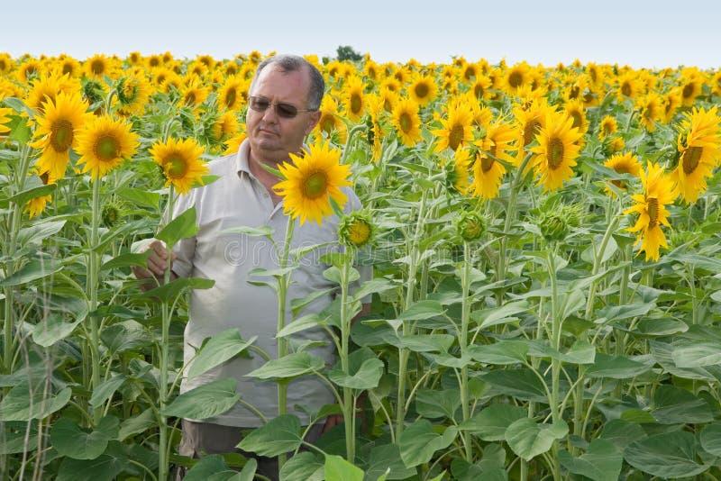 Landbouwer op een gebied van de zonbloem stock afbeeldingen