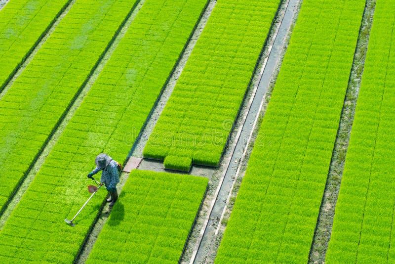 Landbouwer op het groene padieveld stock afbeelding