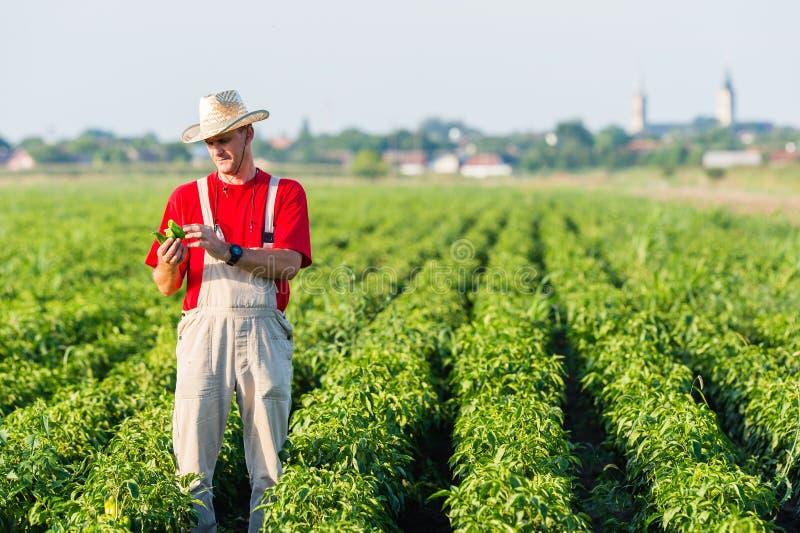 Landbouwer op pepergebieden stock afbeelding