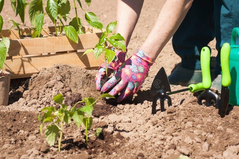 Landbouwer Planting Seedling Plant in Tuin royalty-vrije stock foto