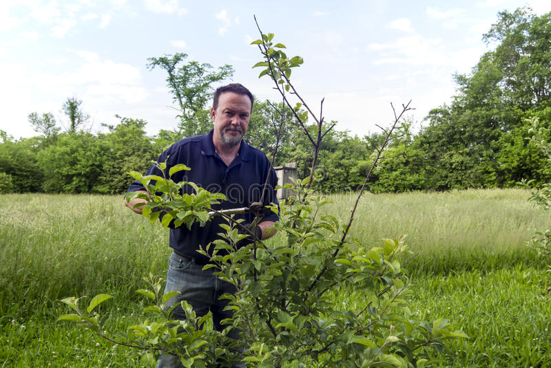 Landbouwer Pruning een Organische Apple-Boom stock afbeeldingen