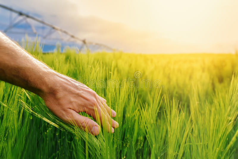 Landbouwer wat betreft groene tarweinstallaties op gecultiveerd gebied stock foto's