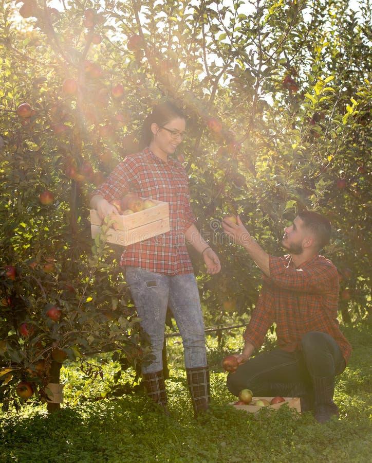 Landbouwers in appelboomgaard royalty-vrije stock afbeeldingen
