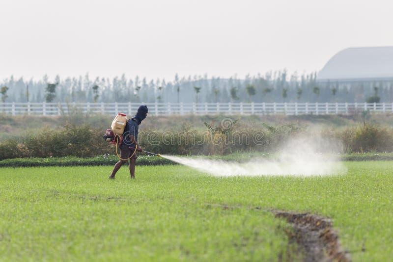 Landbouwers bespuitend chemisch product aan groen jong padieveld stock afbeeldingen