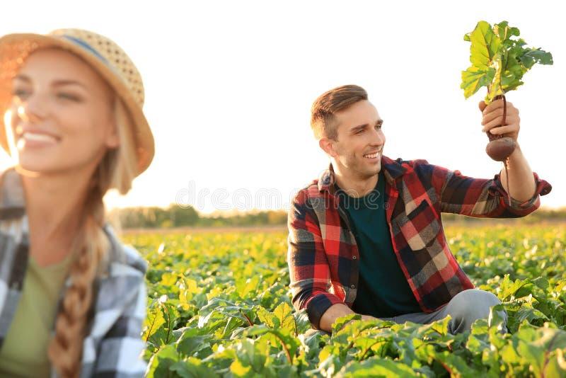 Landbouwers die groenten op gebied verzamelen stock afbeelding