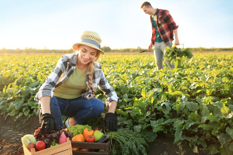 Landbouwers die groenten op gebied verzamelen royalty-vrije stock fotografie
