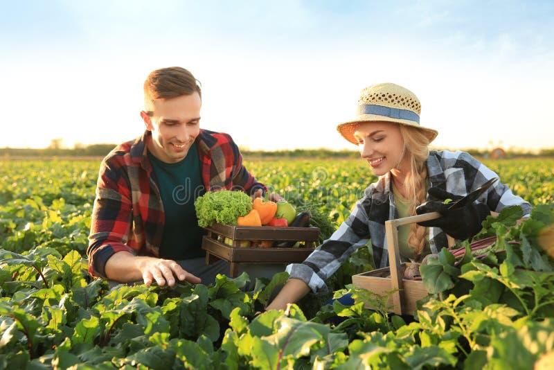 Landbouwers die groenten op gebied verzamelen stock foto's