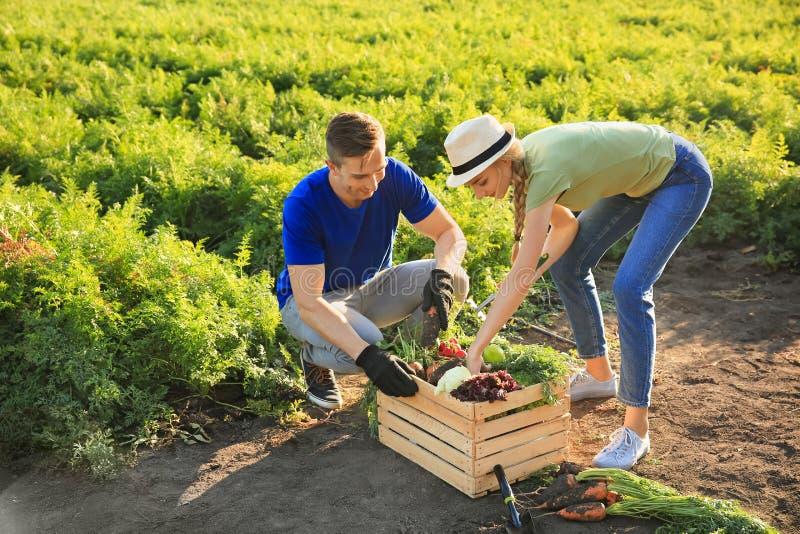 Landbouwers die groenten op gebied verzamelen royalty-vrije stock foto's