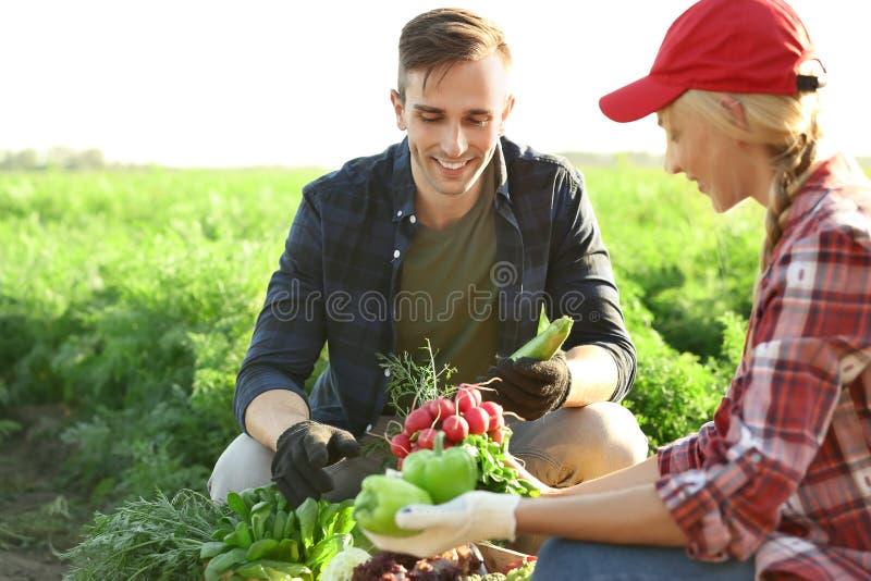 Landbouwers die groenten op gebied verzamelen stock foto