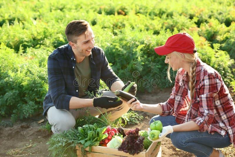 Landbouwers die groenten op gebied verzamelen royalty-vrije stock foto
