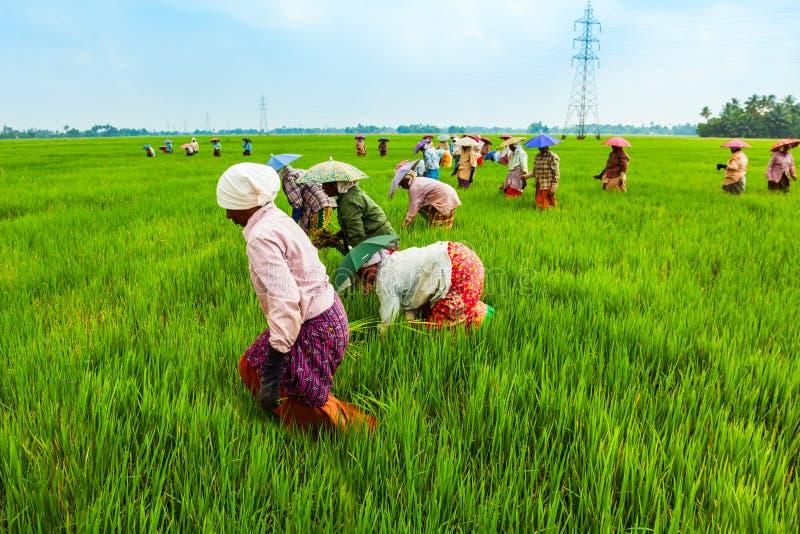 Landbouwers die in padieveld werken stock foto
