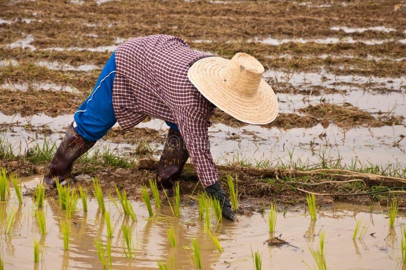 Landbouwers die plantend rijst werken royalty-vrije stock afbeeldingen