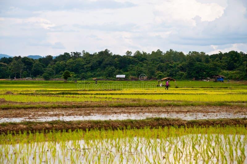 Landbouwers die plantend rijst werken stock foto's