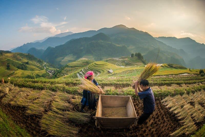 Landbouwers die rijst oogsten bij Beroemd terras in Vietnam stock afbeelding