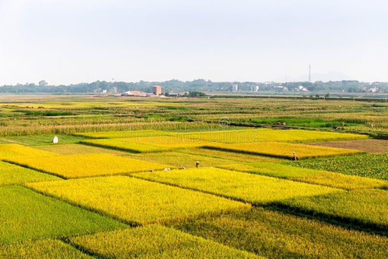 Landbouwers die rijst op de gebieden verzamelen royalty-vrije stock fotografie