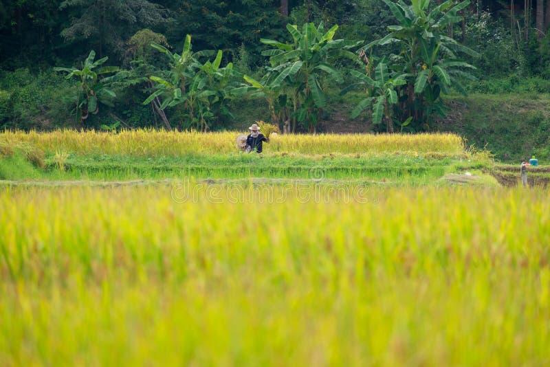 Landbouwers die rijst in padieveld oogsten royalty-vrije stock fotografie