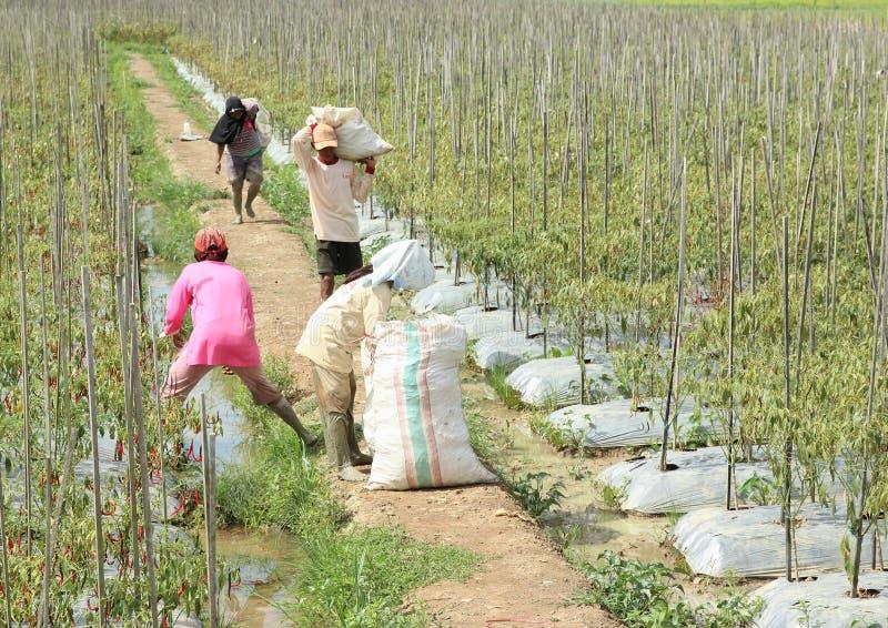 Landbouwers die Spaanse peperspaprika oogsten stock afbeelding