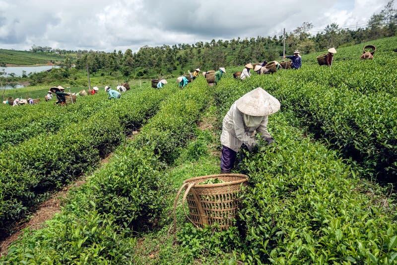 Landbouwers die thee oogsten royalty-vrije stock afbeeldingen