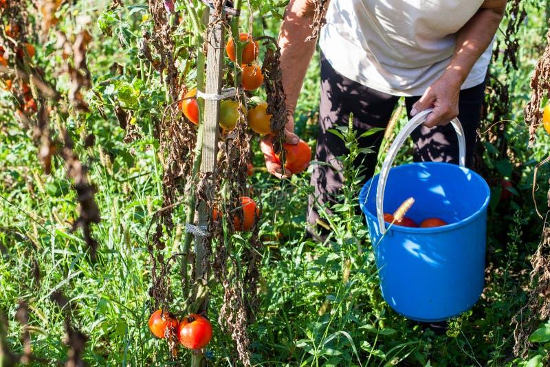 Landbouwers die Verse Inlandse Organische Tomaten plukken royalty-vrije stock afbeelding