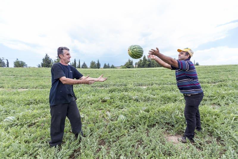 Landbouwers die watermeloenen van het gebied oogsten stock foto