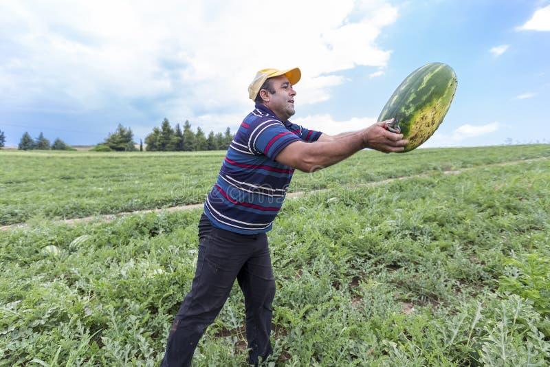 Landbouwers die watermeloenen van het gebied oogsten stock afbeelding