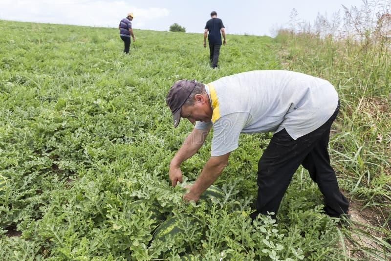 Landbouwers die watermeloenen van het gebied oogsten royalty-vrije stock afbeeldingen