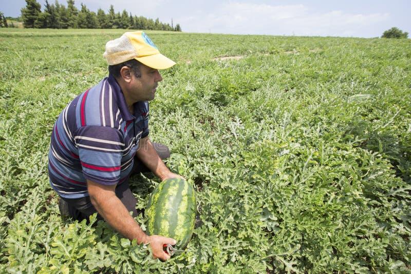 Landbouwers die watermeloenen van het gebied oogsten stock foto's