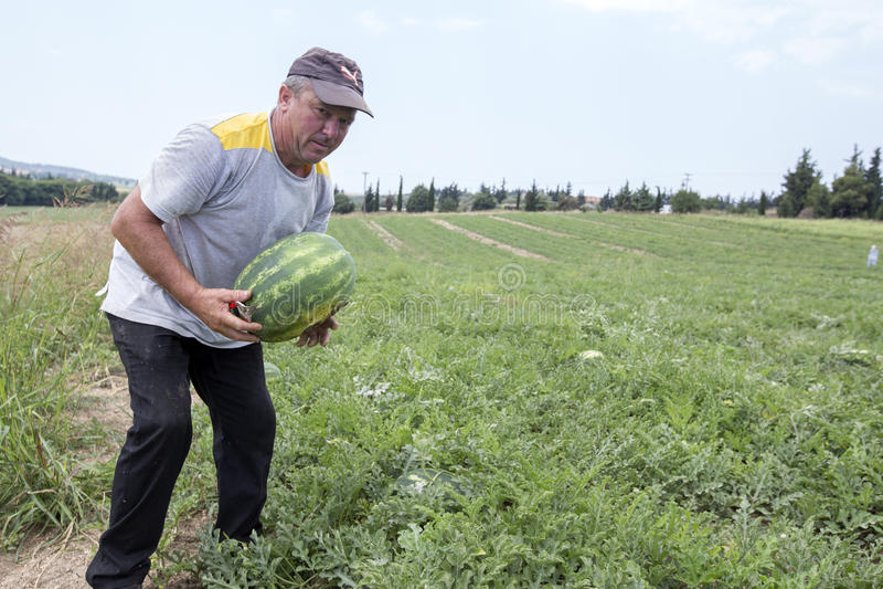 Landbouwers die watermeloenen van het gebied oogsten royalty-vrije stock foto