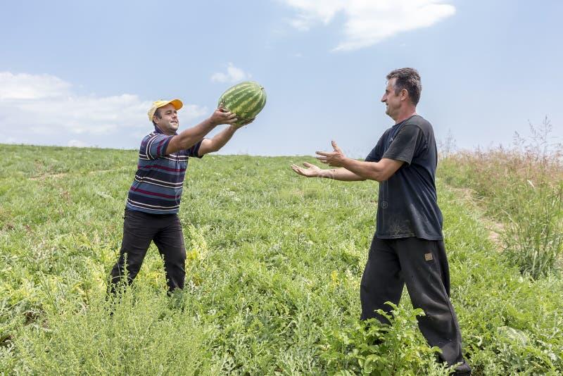 Landbouwers die watermeloenen van het gebied oogsten stock fotografie