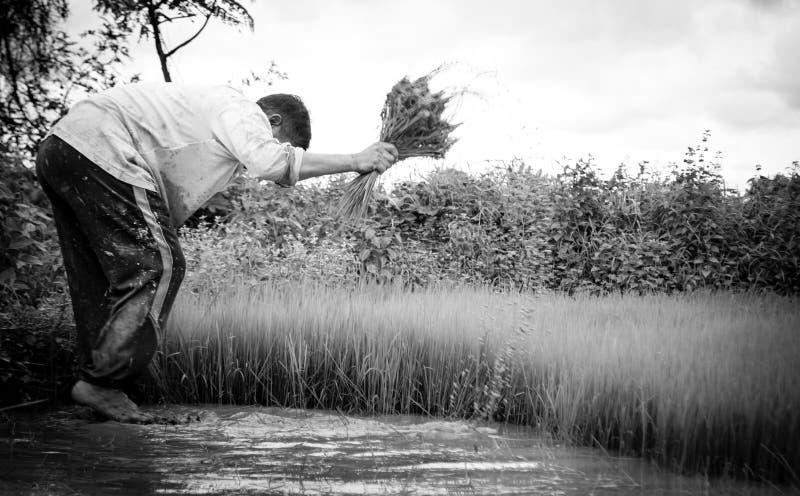 Landbouwers en rijst royalty-vrije stock foto