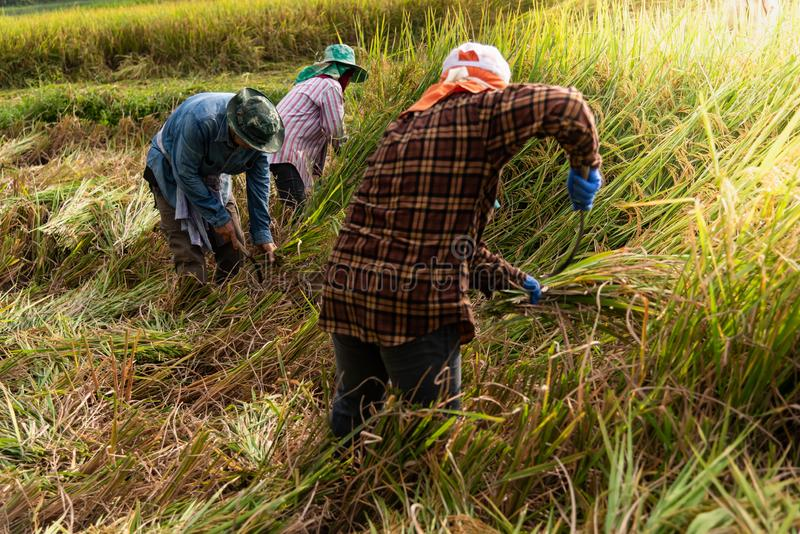Landbouwers in het oogsten van seizoen stock foto's