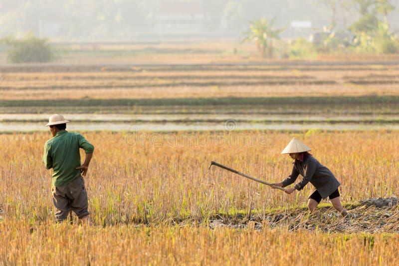 Landbouwers in padieveld stock afbeeldingen