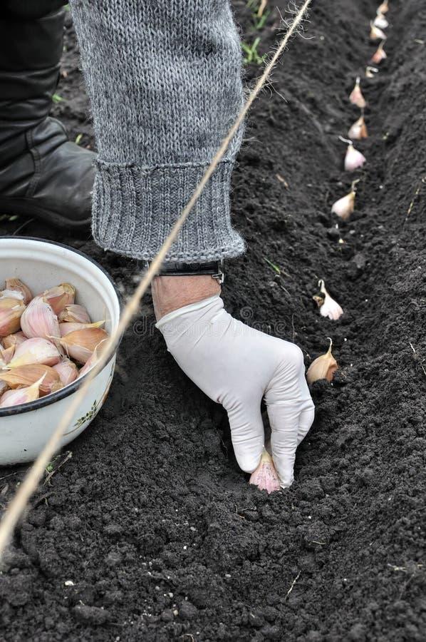 Landbouwers` s hand die knoflook planten stock foto