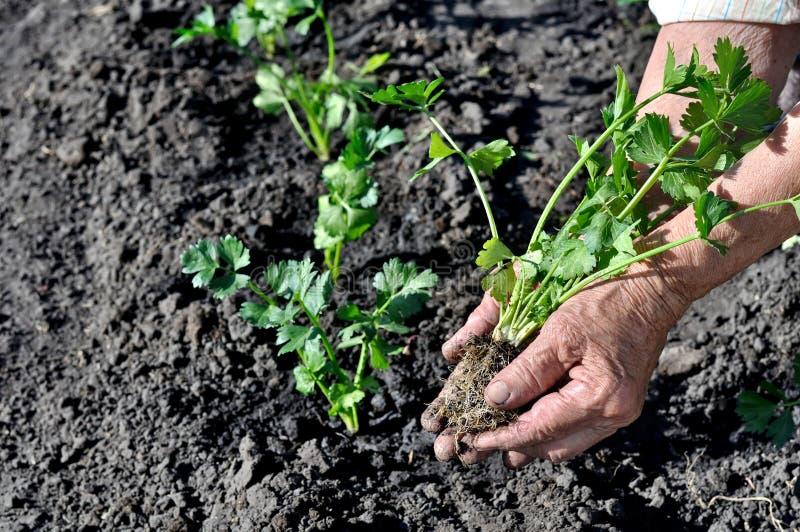 Landbouwers` s handen die een selderiezaailing planten stock fotografie